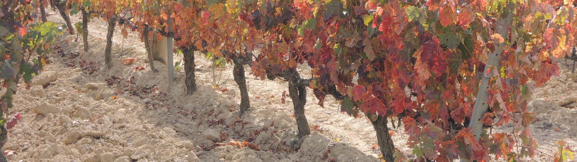 Wijnranken in de herst