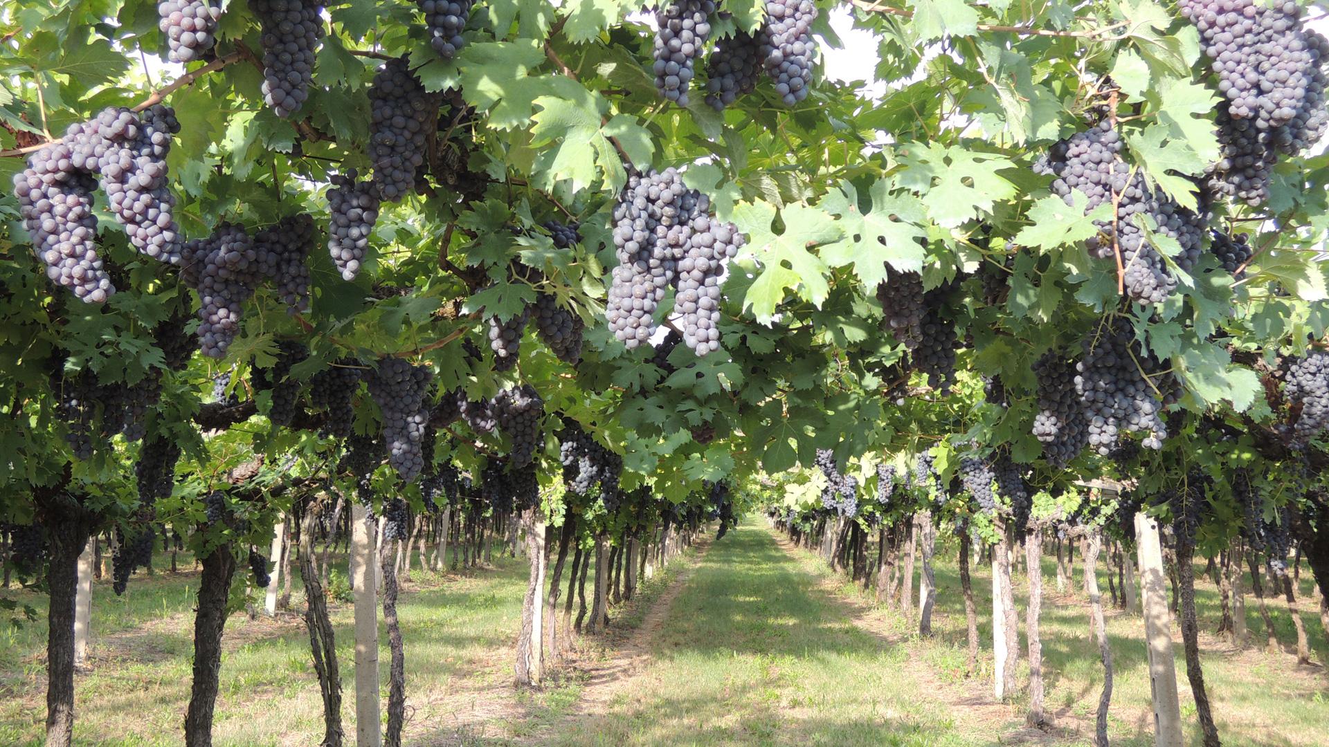 druivengroei volgens het aloude pergolasysteem